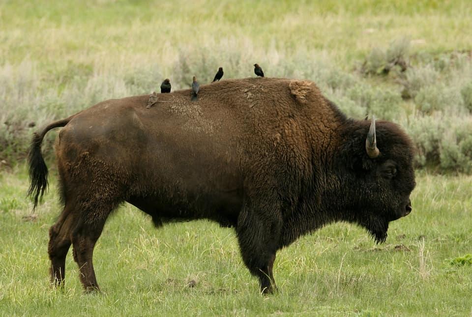 europe bison