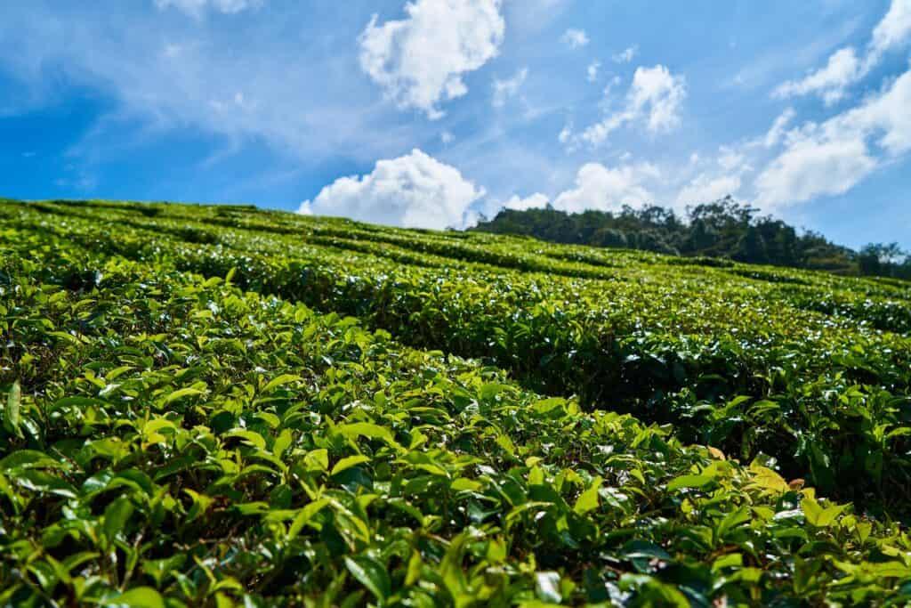 sochi tea plantation