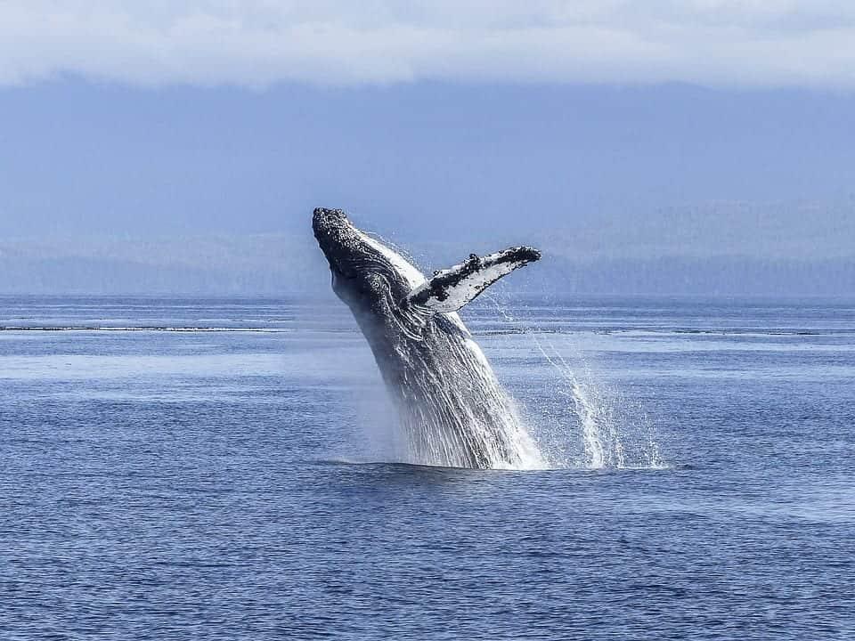 Whales Panama