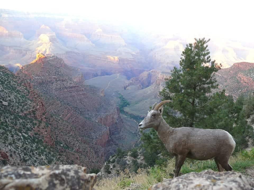 grand canyon wildlife