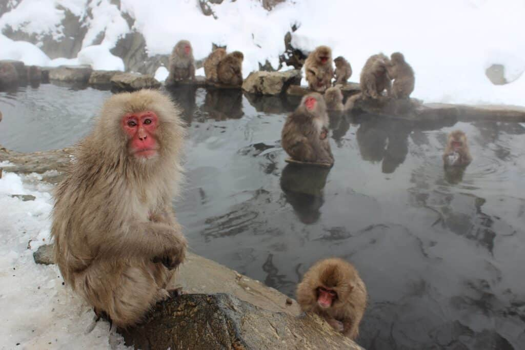 snow monkeys only in japan