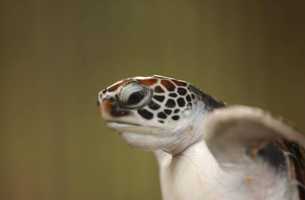 sri lanka turtle