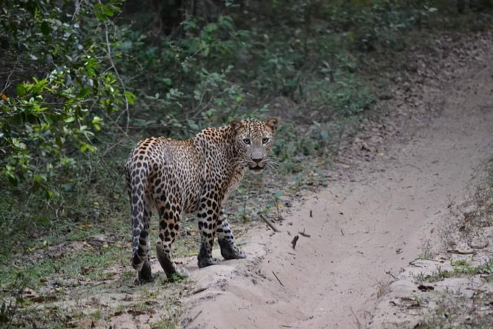 asian leopard reasons to visit sri lanka