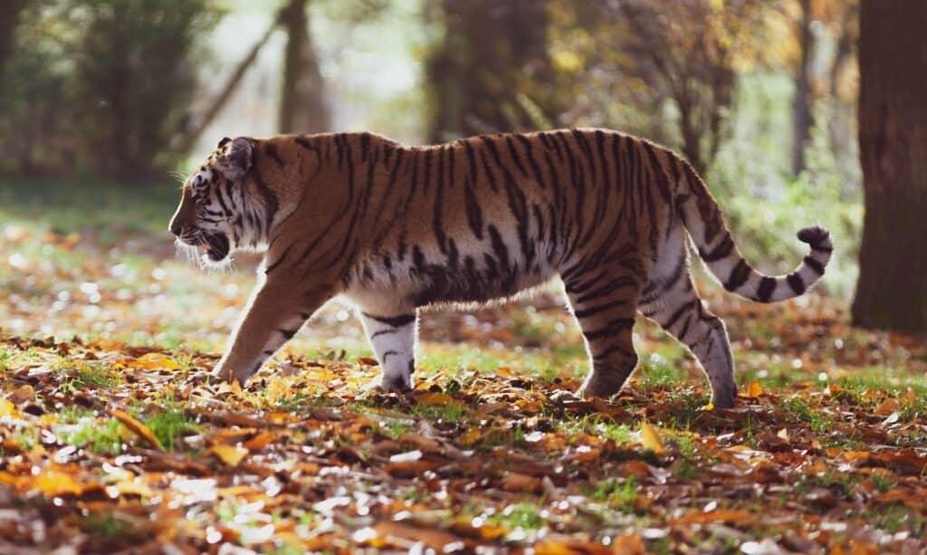 amur tiger 4155922 1920