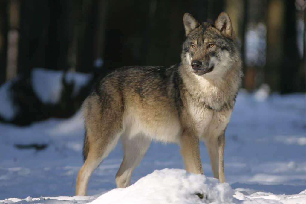 wolf bulgaria