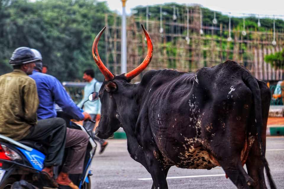 bull on road india